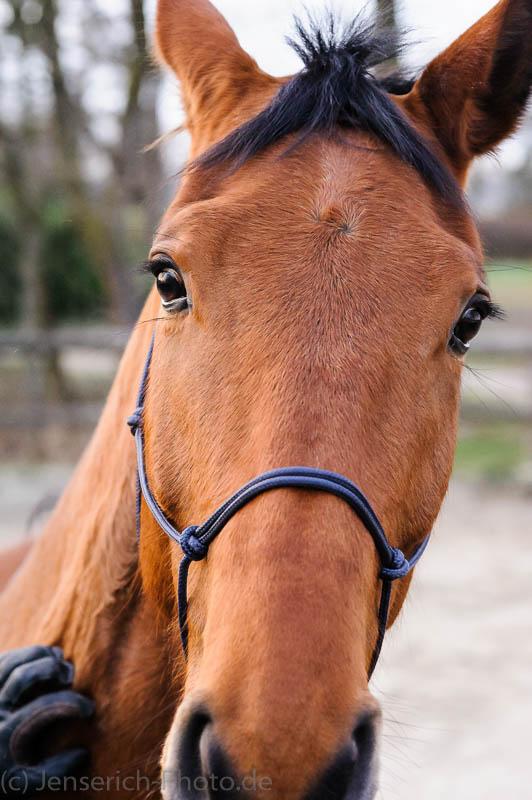 Reihnländer Pferd Brauner Vincent E in braun