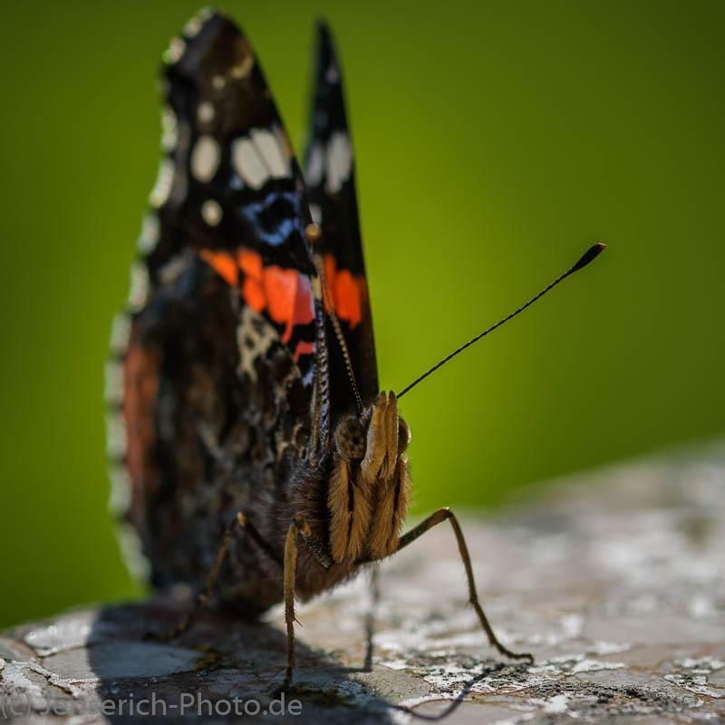 Admiral Schmetterling im Sonnenlicht auf einer Brunnenmauer im heimischen Garten in der Frontansicht