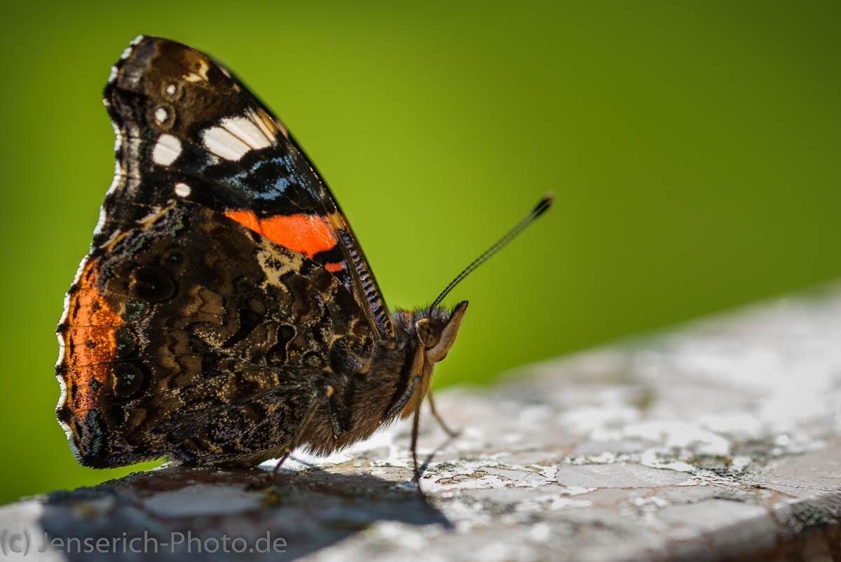 Admiral Schmetterling im Sonnenlicht auf einer Brunnenmauer im heimischen Garten in der Seitenansicht