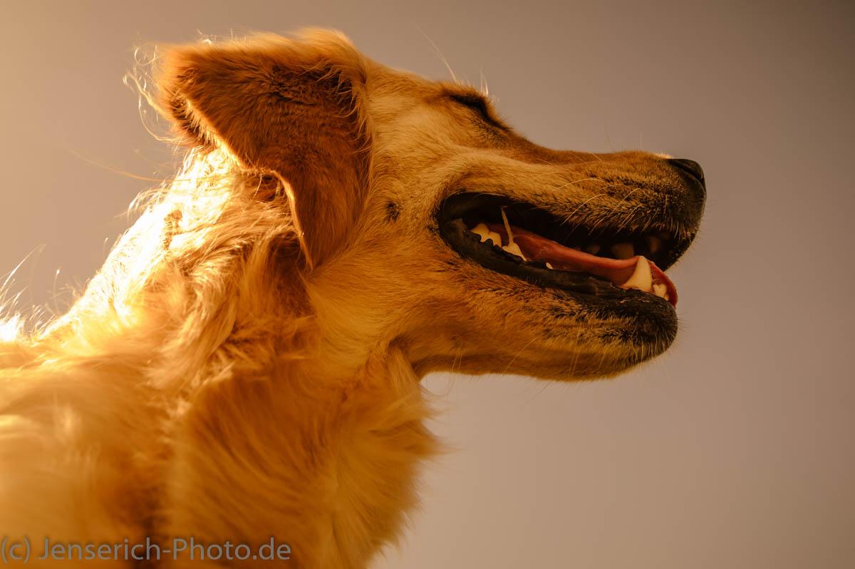 Golden Retriever - Goldlöckchen