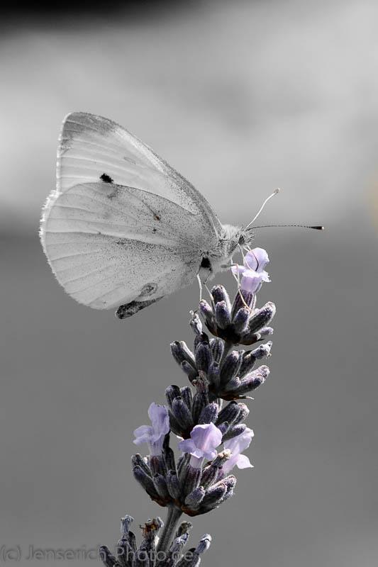 Kleiner Kohlweißling auf Lavendel