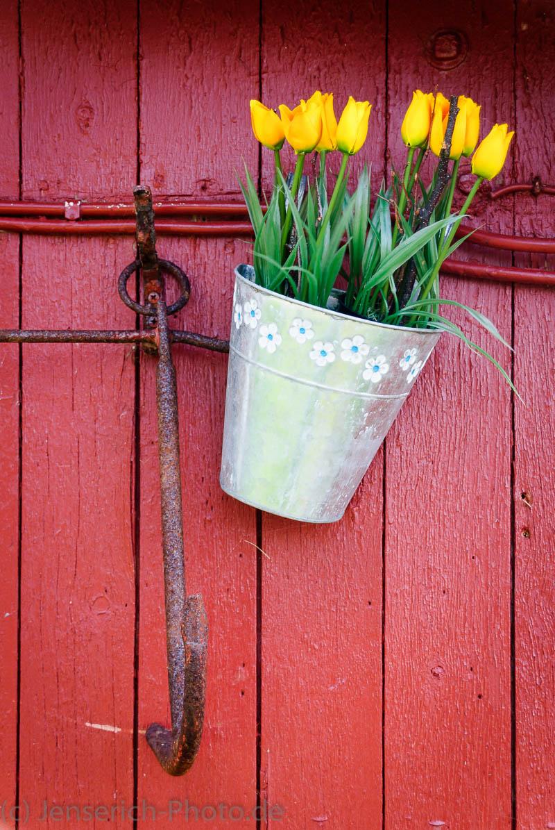 Gelbe Tulpen hängend vor roter Tür
