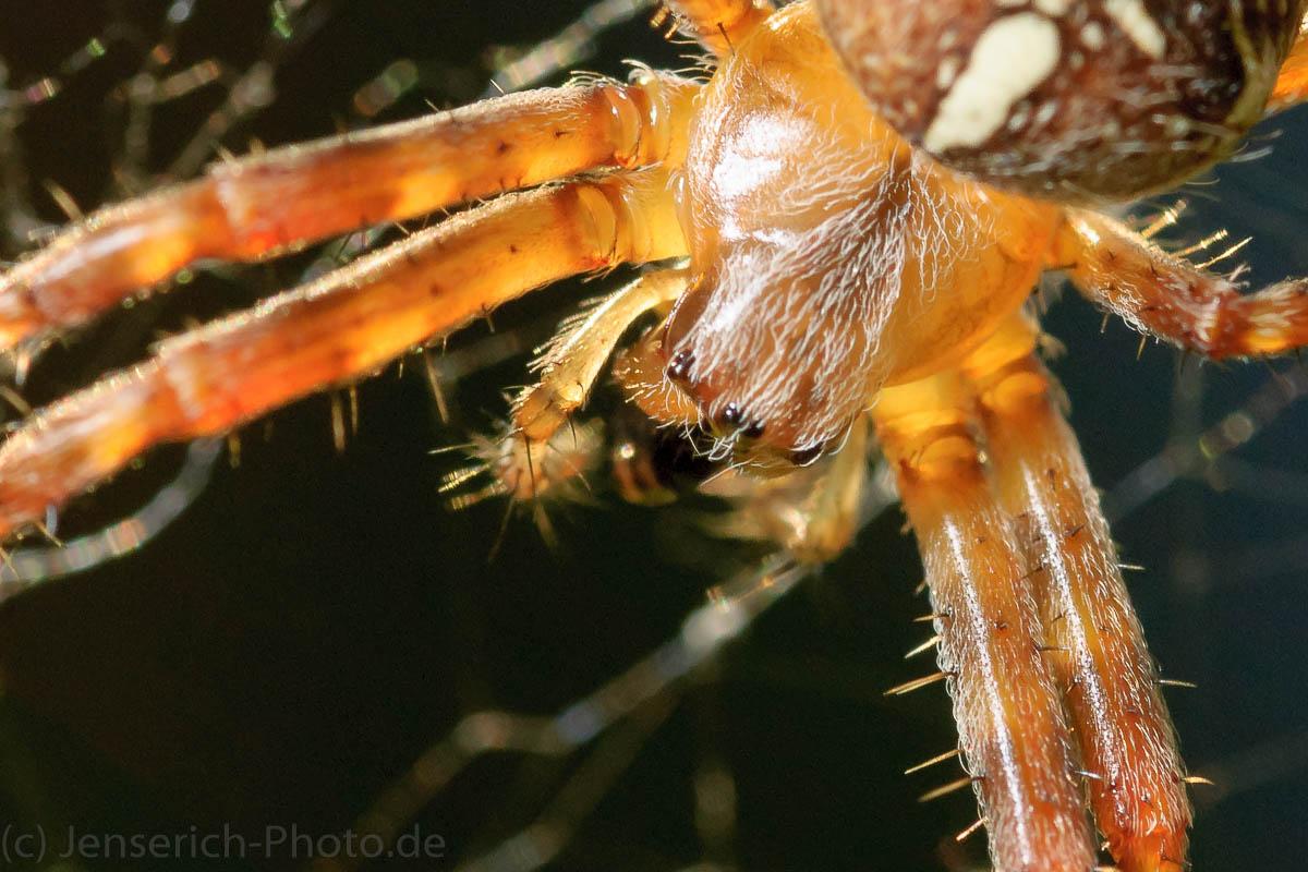 Makro - Eine Kreuzspinne in ihrem Netz als Auschnitt vergrößert Kopfansicht - ein Blitz zur Makroaufhellung