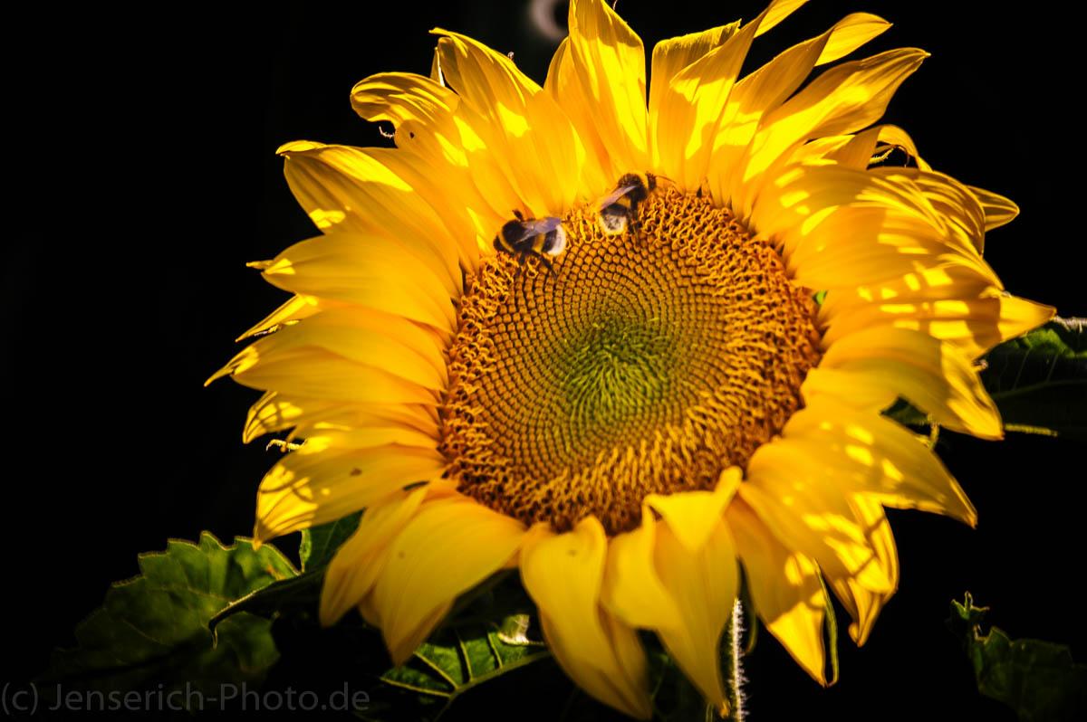 Sonnenblume mit zwei Hummeln als Augen und wirkt als würde sie lachen. Aufgenommen freihand mit einem 500mm Spiegelobjektiv.